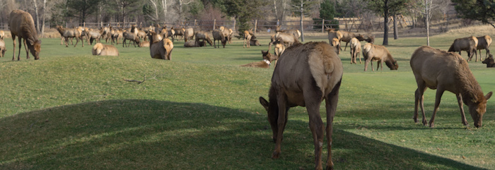 Elk At The Golf Course