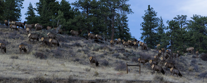 Elk Grazing in Colorado
